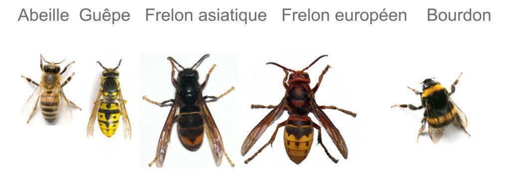 Difference entre abeille, guêpe, frelon, frelon asiatique et bourdon Grenoble